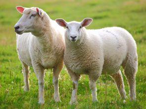 Villanypásztor juhoknak: gazdaságos és biztonságos megoldás